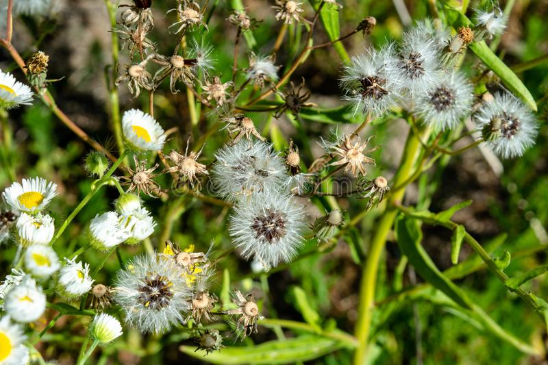 Lote do crescimento de flores pequeno das margaridas brancas e dos dentes-de-leão no campo imagens de stock royalty free