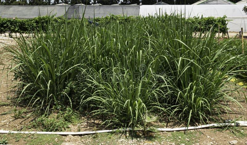 Lote do teste de plantas da cana-de-açúcar em uma exploração agrícola da pesquisa em Israel fotos de stock royalty free