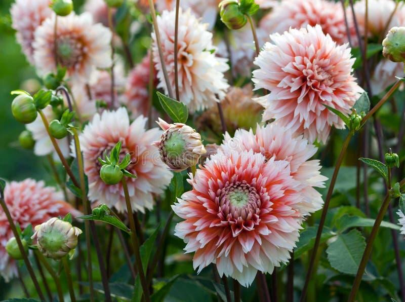 lote dos crisântemos do tamanho branco e médio com pétalas brancas e núcleos vermelho-alaranjado-cor-de-rosa fotografia de stock