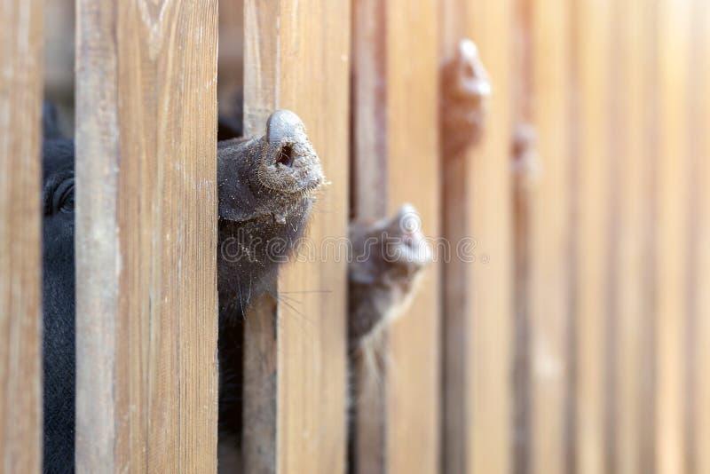 Lote dos narizes engraçados do porco que espreitam através da cerca de madeira na exploração agrícola Leitão que colam os focinho foto de stock royalty free