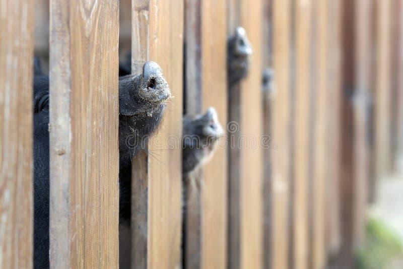 Lote dos narizes engraçados do porco que espreitam através da cerca de madeira na exploração agrícola Leitão que colam os focinho fotos de stock