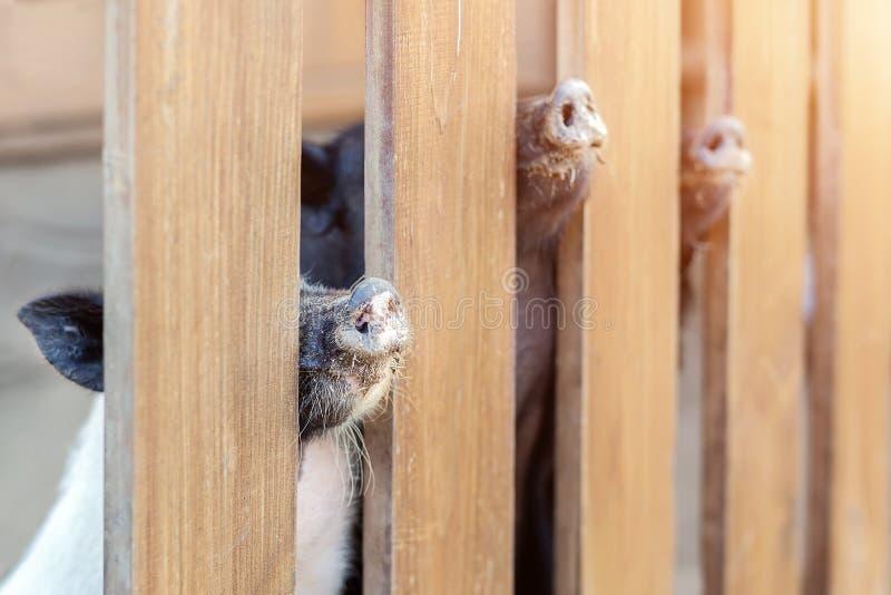 Lote dos narizes engraçados do porco que espreitam através da cerca de madeira na exploração agrícola Leitão que colam os focinho imagens de stock