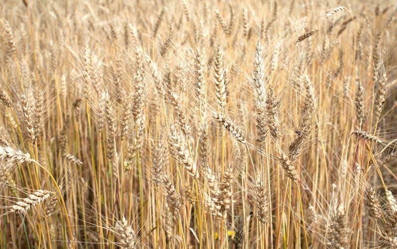 Loteie as orelhas do centeio no close up rural do campo fotografia de stock royalty free