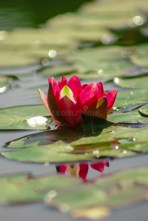 Loteryjka kwiat odizolowywający zdjęcia royalty free