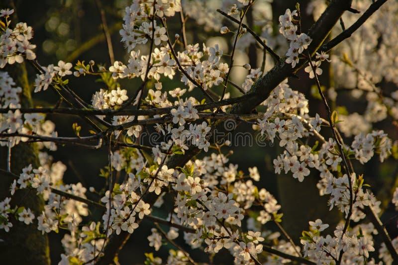Lotes das flores de cerejeira brancas, foco seletivo - Prunus foto de stock royalty free