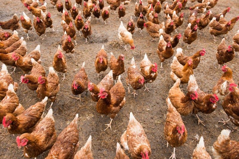 Lotes das galinhas na exploração agrícola foto de stock
