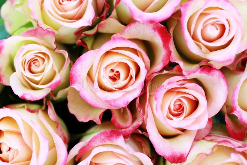 Lotes das rosas imagem de stock