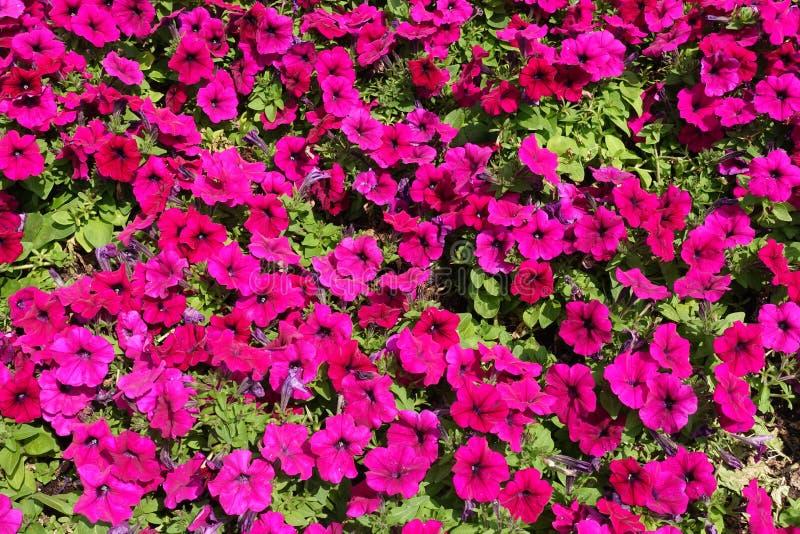 Lotes de flores coloridas magentas do petúnia imagem de stock