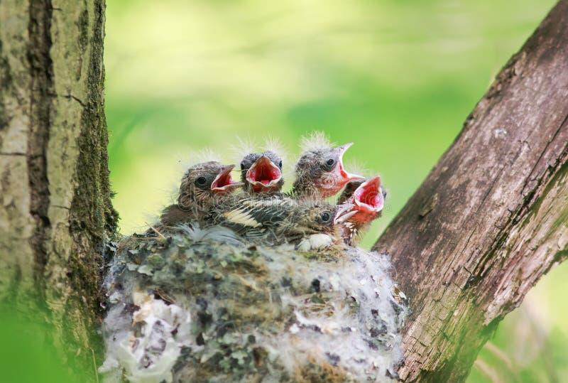 Lotes de pintainhos com fome fora do ninho seus bicos com fome abertos imagens de stock