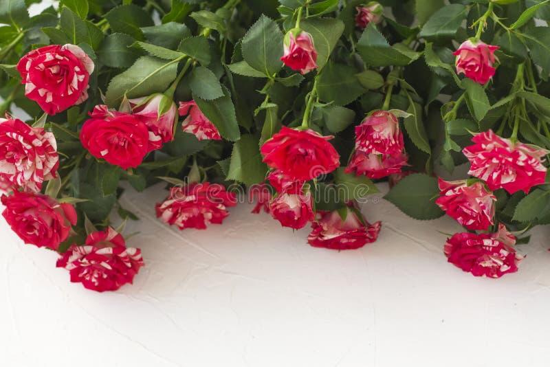 Lotes de rosas pequenas bonitas na disposição lisa do fundo branco com opinião superior do espaço da cópia fotos de stock