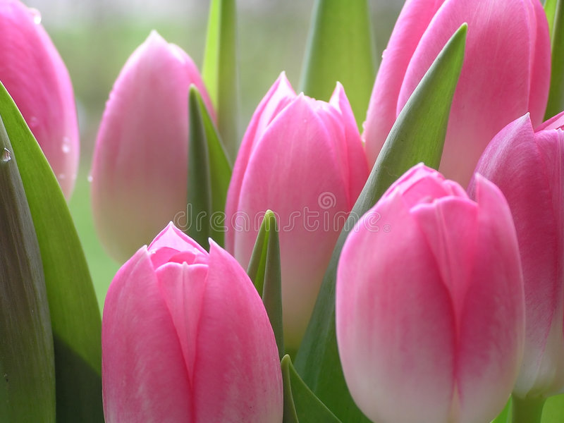 Lotes de tulips cor-de-rosa foto de stock royalty free