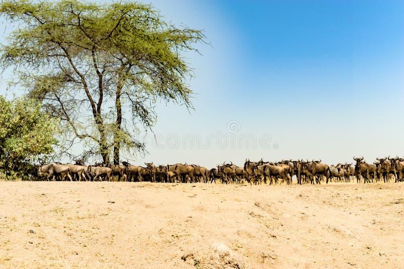 Lotes do gnu - gnu - na grande migração em Serengeti, Tanzânia fotografia de stock royalty free