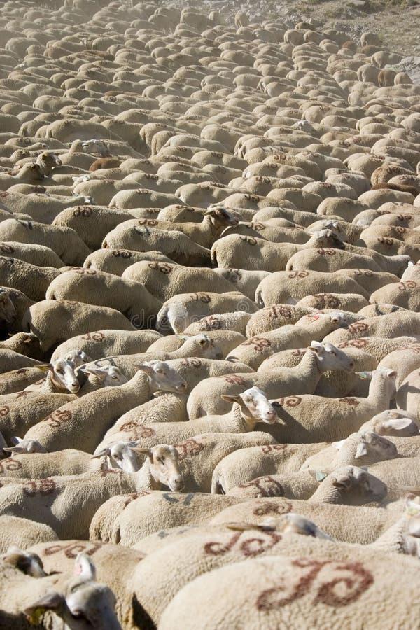 Lotes dos carneiros fotos de stock royalty free