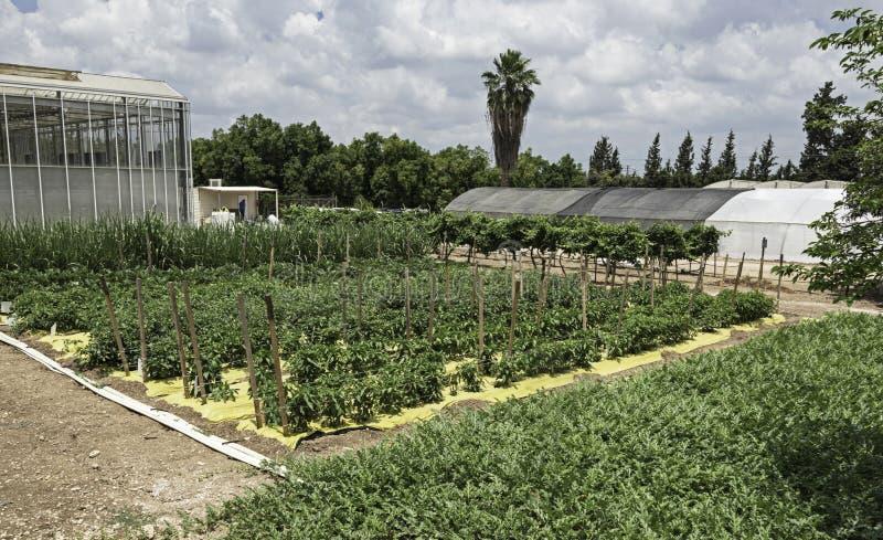Lotes vegetais para a irrigação de gotejamento e a pesquisa plástica da palha de canteiro foto de stock royalty free