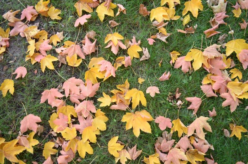 2008 lotniczego jesień suchego spadek złoty gaju liść opuszczać blisko Październik dębowych zwrotów Russia które wiatrowy kolor ż obrazy royalty free