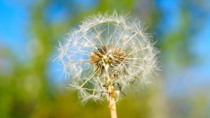 Lotniczy nakrętki dandelion kwiat na tle wiosny greenery fotografia royalty free
