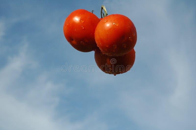 lotniczy w połowie zawieszony trzy pomidoru ilustracji