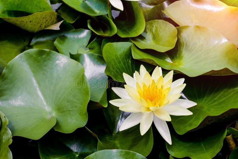 Loto bianco che fiorisce con la luce solare di mattina immagini stock libere da diritti