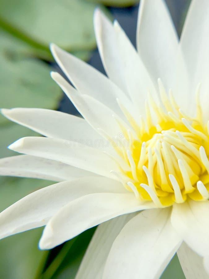 Loto bianco che fiorisce nello stagno, fine sul colpo fotografie stock libere da diritti