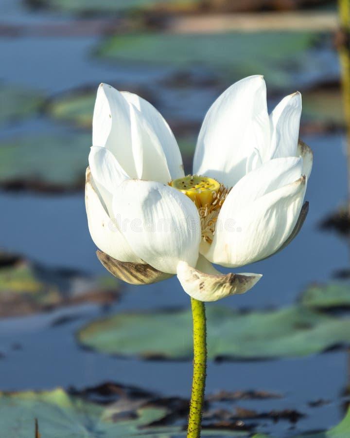 Loto blanco en el lago Phatthalung Tailandia Thale noi fotografía de archivo libre de regalías