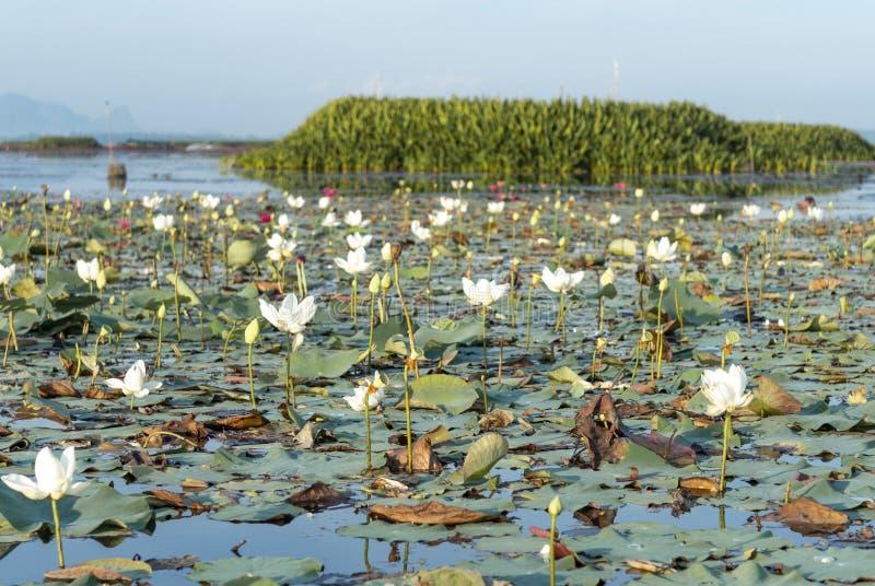 Loto blanco en el lago Phatthalung Tailandia Thale noi imagen de archivo