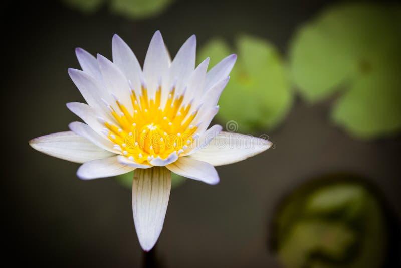 Download Loto blanco hermoso foto de archivo. Imagen de botánica - 64208144