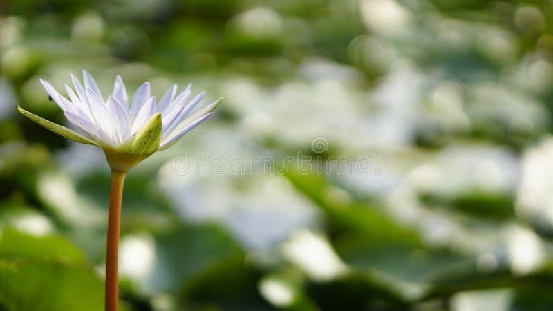 Loto blanco, lirio de agua blanca en jardín imagen de archivo