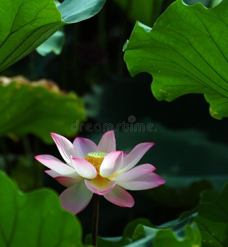 Download Loto Charming immagine stock. Immagine di loto, beijing - 7309715