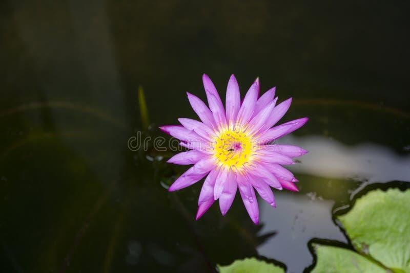 Loto di rosa di vista superiore in un fondo della sfuocatura e del vaso fotografie stock libere da diritti