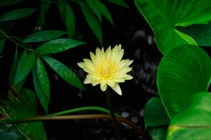 Loto giallo immagine stock