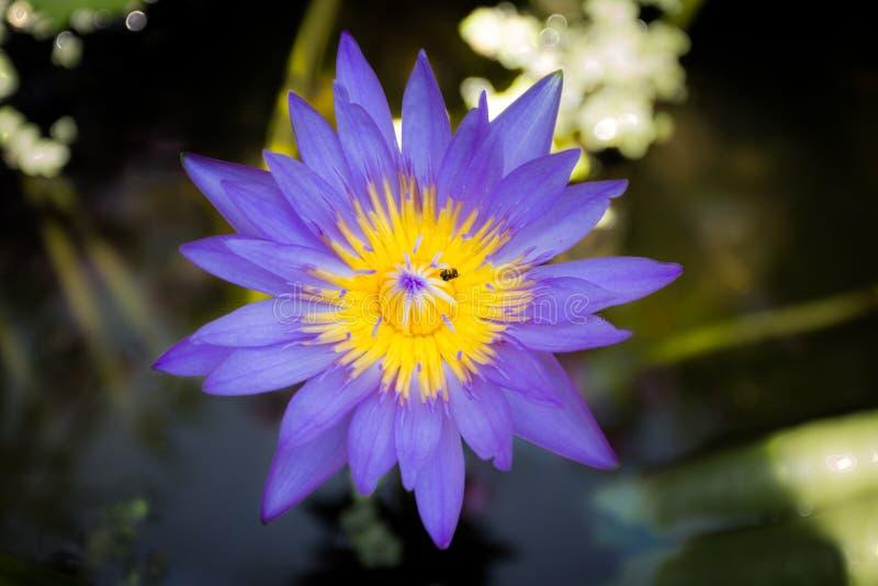 Loto púrpura en fondo de la primavera fotos de archivo