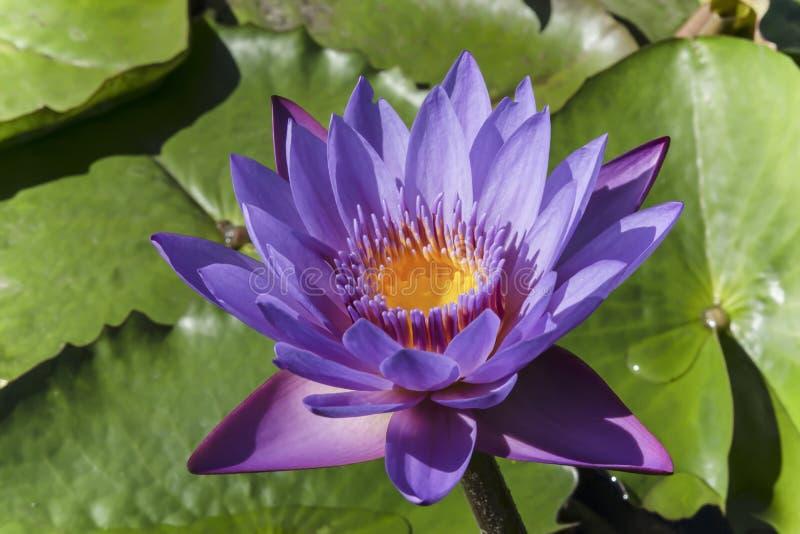 Loto porpora del fiore nello stagno immagini stock libere da diritti