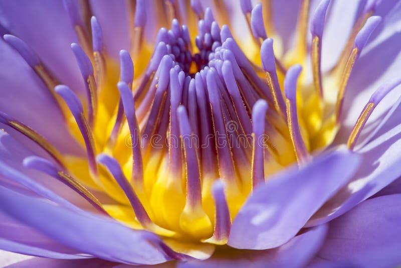 Loto porpora del fiore nello stagno fotografie stock