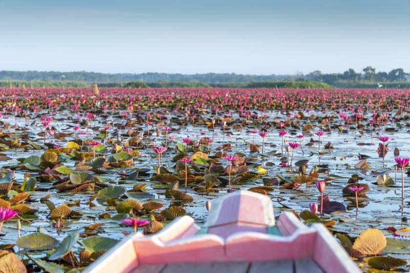 Loto rojo en el lago Phatthalung Tailandia Thale noi imagen de archivo