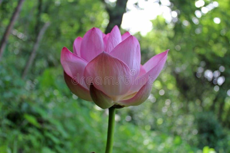 Loto rosa che fiorisce, backgtound blured della natura fotografie stock libere da diritti