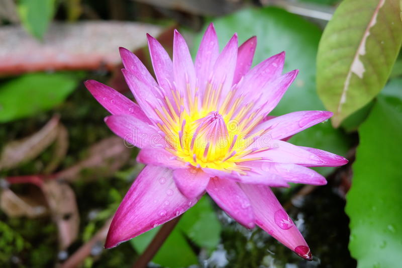Loto rosa dopo pioggia fotografia stock