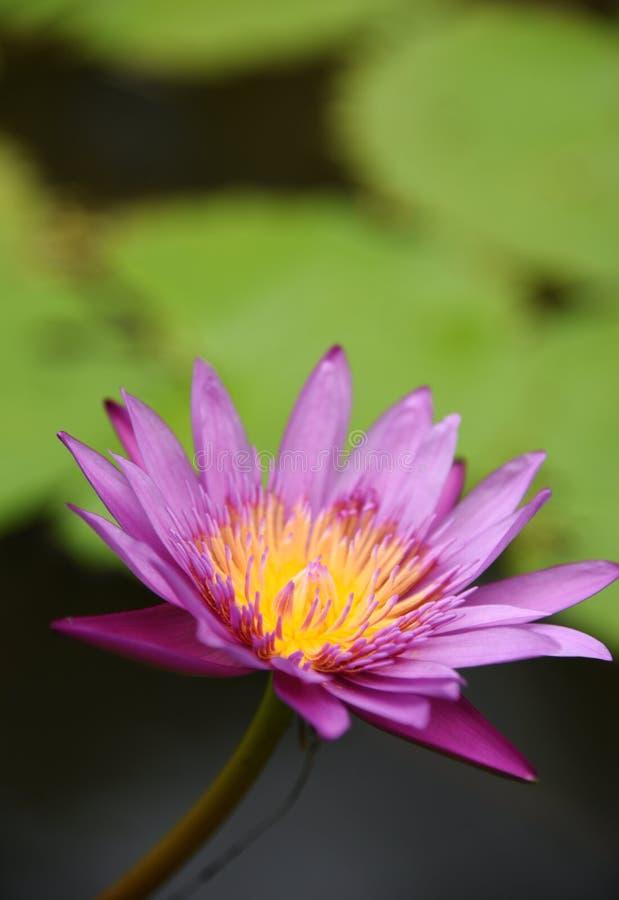 Loto rosa nella mattina del giardino immagine stock libera da diritti