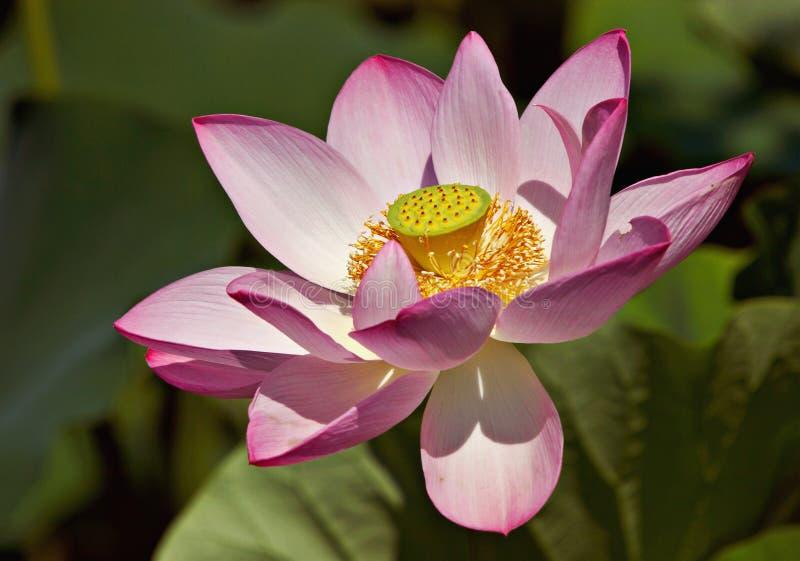 Download Loto rosado imagen de archivo. Imagen de agua, charca, reflexión - 183409