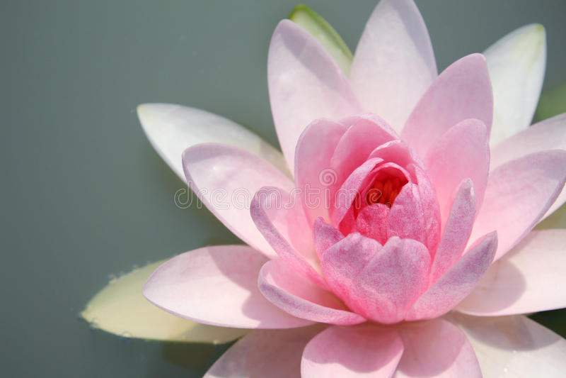Download Loto rosado imagen de archivo. Imagen de waterlily, pink - 41917959
