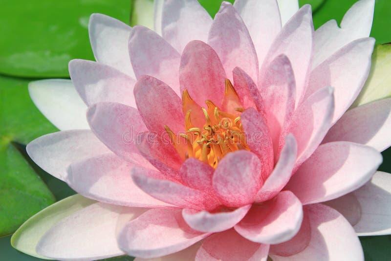 Download Loto rosado imagen de archivo. Imagen de verano, agua - 41918059