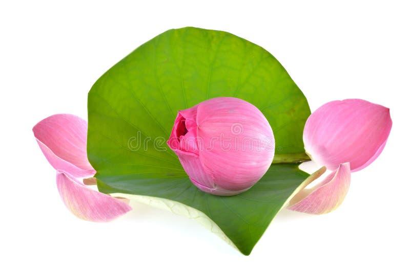 Loto rosado en el fondo blanco fotos de archivo libres de regalías