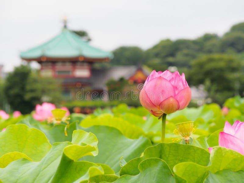 Loto rosado hermoso en el parque de Ueno, Tokio, Japón fotografía de archivo libre de regalías