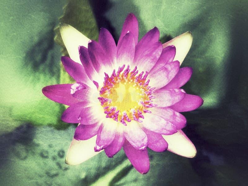 Loto rosado hermoso, fondo del color de agua imagenes de archivo
