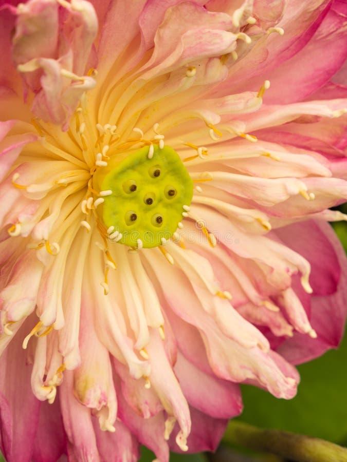 Loto sagrado rosado foto de archivo