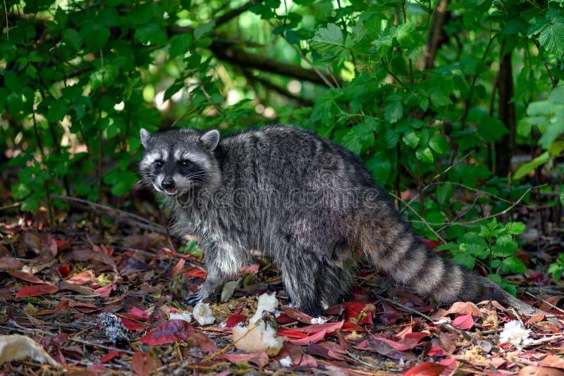 Lotor de Procyon de raton laveur dans le buisson avec certains déchets alimentaires humains partis jetés comme le pain photos stock