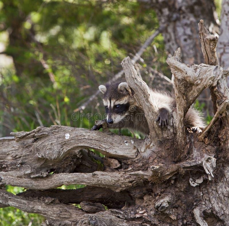 Lotor Procyon Raccoon стоковое изображение rf