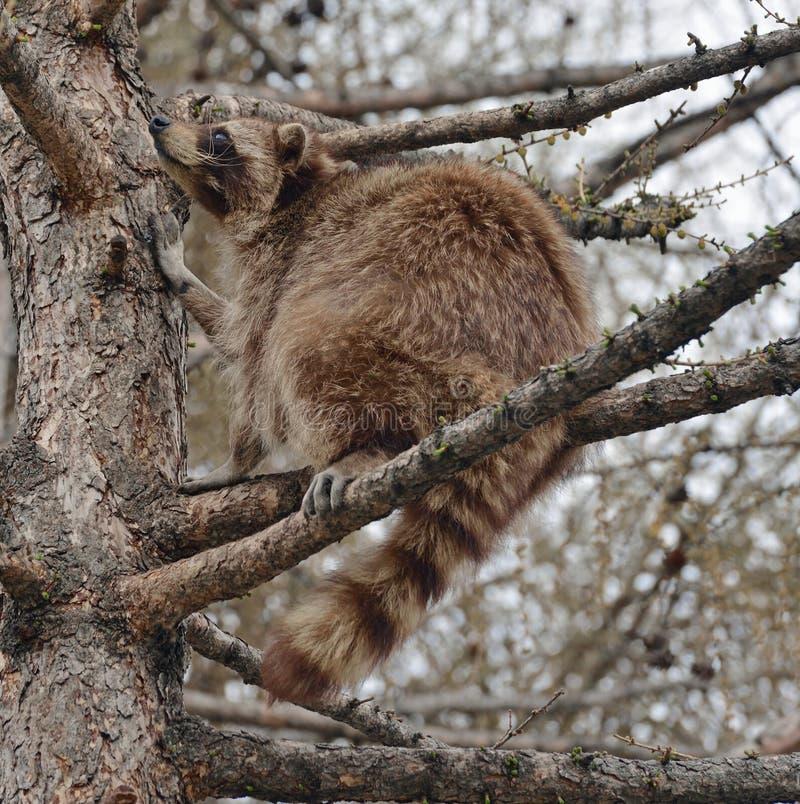 Lotor van wasbeerprocyon zit hoog op tak op lariksboom in de lente royalty-vrije stock fotografie