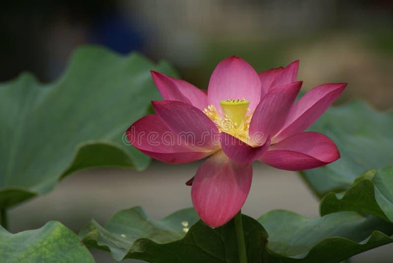 lotos fotografia royalty free
