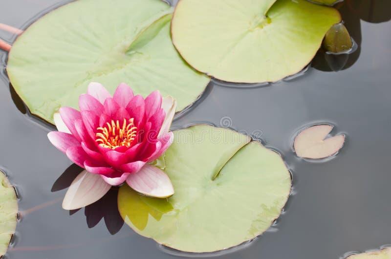 lotos obrazy royalty free