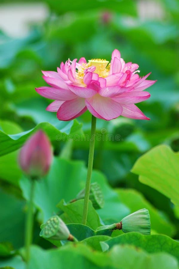Download Lotos zdjęcie stock. Obraz złożonej z kolorowy, 1, kwiaty - 13341582